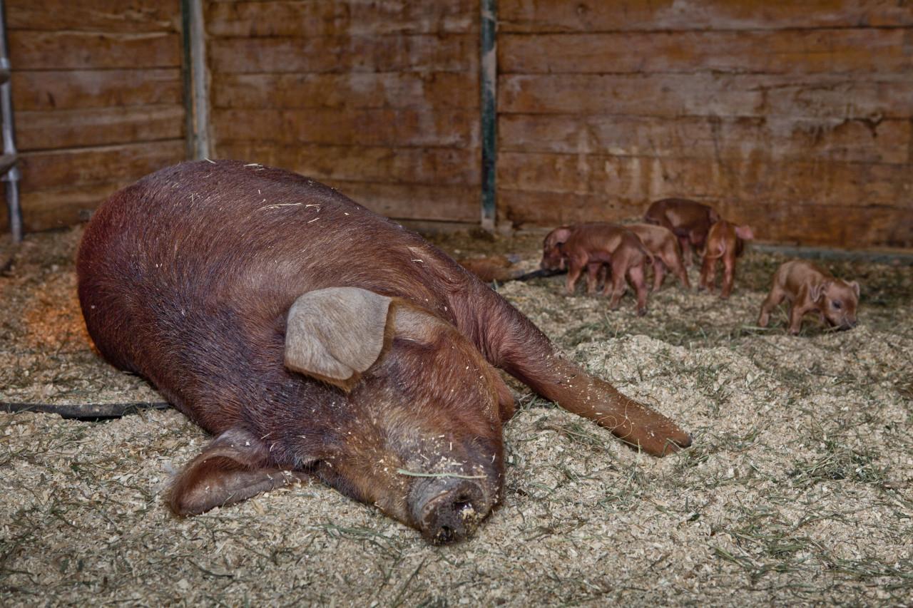 Red Wattle Pigs