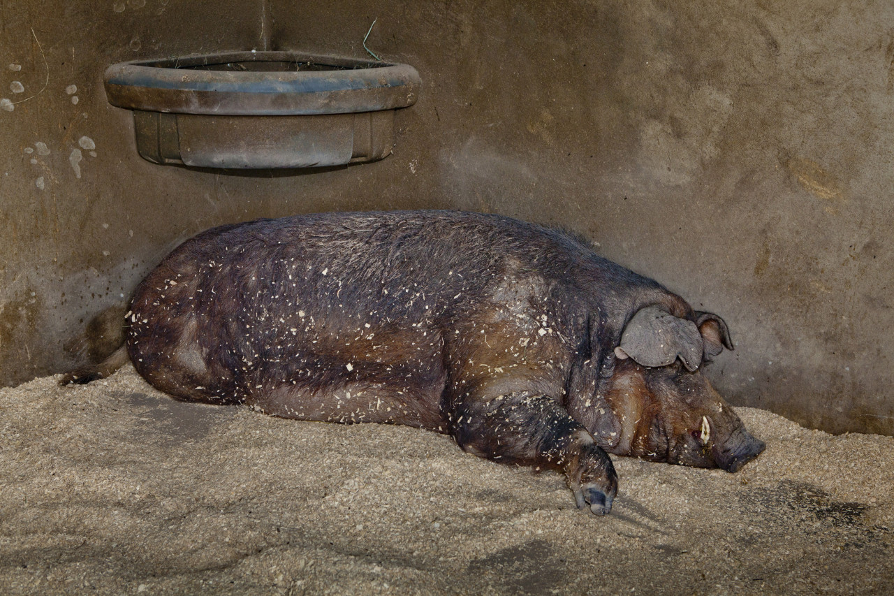 """Lewis"" Red Wattle Pig"
